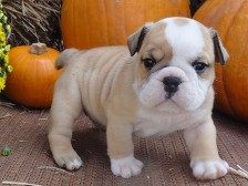English Bulldog, English Bulldogs in Jacksonville, FL